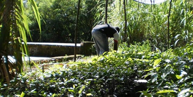 coffee seedling nursery