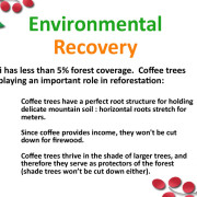 Coffee trees reforest Haiti.