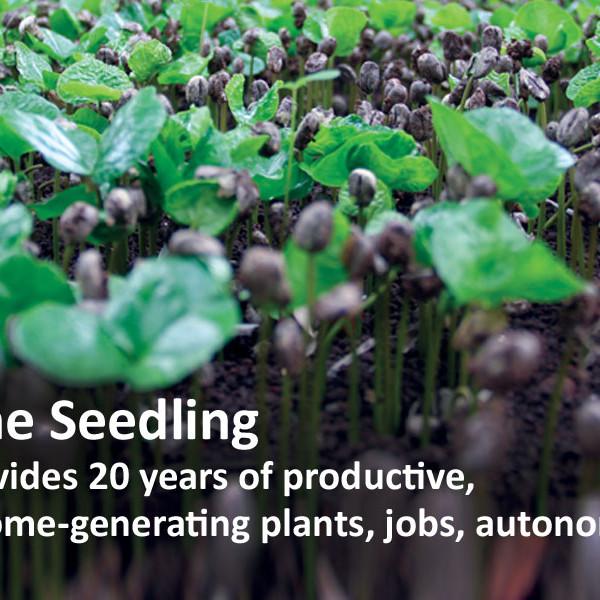 haitian coffee seedling donation