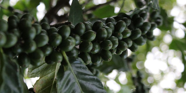 haitian coffee tree