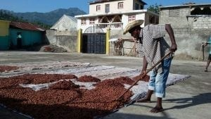 cacao drying haiti