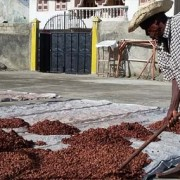 cacao fields #haitianchocolate