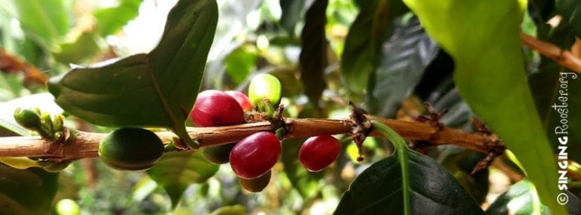 Ripe coffee cherry, Haiti